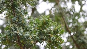 Green fir tree branch moving in the light wind breeze. Closeup of pine tree branch.  stock video footage