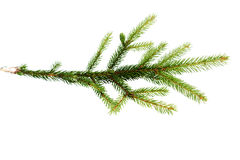Green fir-tree branch on  white Stock Photography