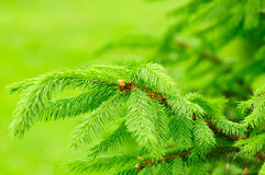 Green Fir Tree Branches Royalty Free Stock Photography