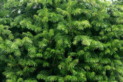 Green fir tree branches texture Royalty Free Stock Photography