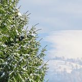 Green Fir-tree Covered With Snow Stock Photos