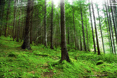 Green fir tree forest Stock Image