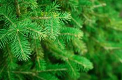 Green fir tree. For background. Selrctive focus Royalty Free Stock Photo