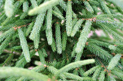 Green fir tree or pine branches Royalty Free Stock Images