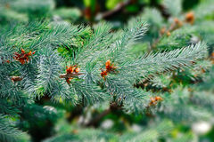 Green fir tree or pine branches Stock Images