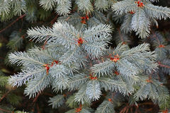 Green fir tree or pine branches Stock Photo