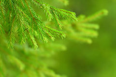 Green Fir Tree or Pine Branches Stock Image