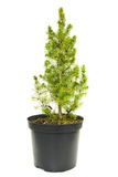 Green fir tree in a pot Stock Image