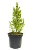 Green fir tree in a pot Stock Image