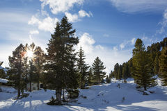 Green fir trees in the Austrian Alps Royalty Free Stock Image