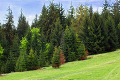 Green fir-trees on the green valley and blue sky Royalty Free Stock Photos