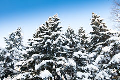 Green fir trees with snow on branches Stock Photos