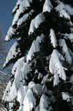 Green fir trees with snow on branches Stock Image
