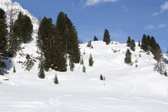 Green fir trees in snowy Austrian Alps Royalty Free Stock Image