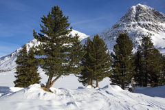 Green fir trees in snowy Austrian Alps Royalty Free Stock Images