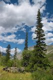 Green firs and blue skies-01. Green firs and blue skies on the Altay mountains Stock Photos