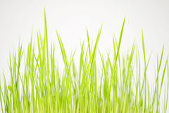 Green first crops closeup Royalty Free Stock Image