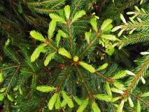 Green firtree Stock Photos