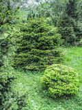 Green firtrees in botanical garden Stock Image