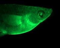 Green fish. Transgenic fish with green fluorescent body Stock Image