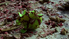 Green fish angler anglerfishe hunt in coral reefs stock footage