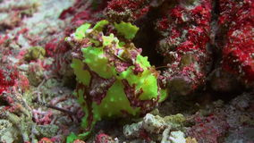 Green fish angler anglerfishe hunt in coral reefs. Amazing, beautiful underwater world Bali Indonesia and  life of its inhabitants, creatures and diving stock video