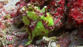 Green fish angler anglerfishe hunt in coral reefs stock video