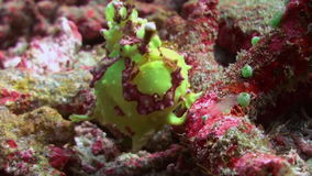 Green fish angler anglerfishe hunt in coral reefs. Amazing, beautiful underwater world Bali Indonesia and  life of its inhabitants, creatures and diving stock video footage