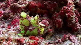 Green fish angler anglerfishe hunt in coral reefs stock video footage