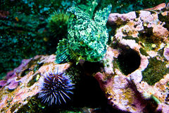 Green Fish and Purple Anemone. A green mottled tropical fish in an aquarium Royalty Free Stock Photos