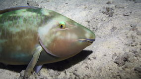 Green fish uon background of underwater sandy bottom in Red sea. Swimming in world of colorful beautiful wildlife of reefs and algae. Inhabitants in search of stock video footage