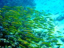 Green fishes. Flock of green fishes on coral reef Royalty Free Stock Photo