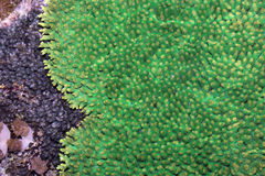 Green flat coral,  Bali,Nusa Penida, Indonesia Stock Photo