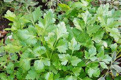 Green flat leaf parsley growing in the garden Stock Photography