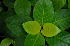 Green flat leafed tropical plant with light green veins. Green flat-leafed tropical plant with light green veins royalty free stock photography
