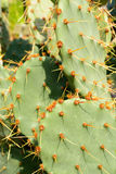 Green flat rounded cladodes of opuntia cactus Stock Image