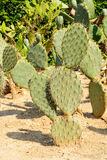 Green flat rounded cladodes of opuntia cactus Stock Photos