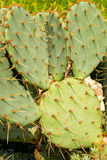 Green flat rounded cladodes of opuntia cactus Royalty Free Stock Photos