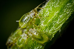 Green flies. Group of greenflies on pedicle Stock Photos
