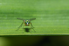 Green flies. With long legs on leaves green stock images