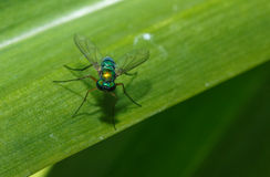 Green flies. With long legs on leaves green stock photos