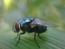 Green flies. A mature green flies at makro lensa royalty free stock image