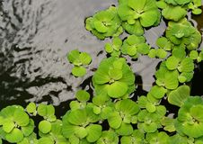 Green floating plant on surface water Stock Photography