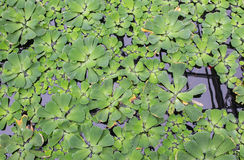 Green floating water lettuce (Pistia) Royalty Free Stock Image
