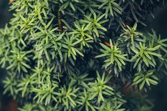 Green floral background texture. Yew or Taxus baccata branches close-up at winter season royalty free stock photos