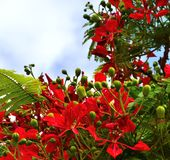 Green floral buds and colorful flowers of flamboyan tree. Green buds and flowers of flamboyan Royalty Free Stock Photography