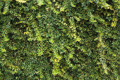 Green floral hedge/ background Stock Photography