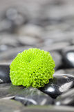 Green Flower. Close-up with black stones Stock Images