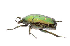 Green flower beetle royalty free stock photo