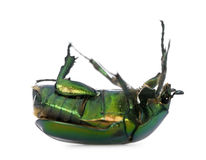 Green flower beetle against white background. Green flower beetle on backside, Cetonischema aeruginosa, against white background, studio shot Royalty Free Stock Photos